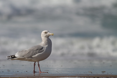 Herring Gull - Half Moon Bay, CA, USA