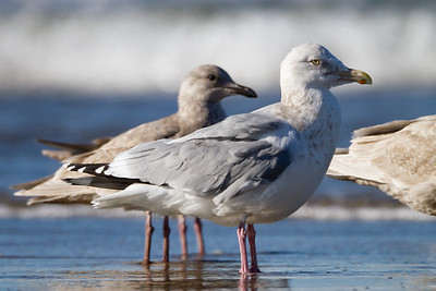 Herring Gull - San Mateo county coast, CA