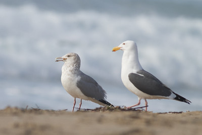 Herring Gull (left) & Western Gull (right) - Half Moon Bay, CA, USA