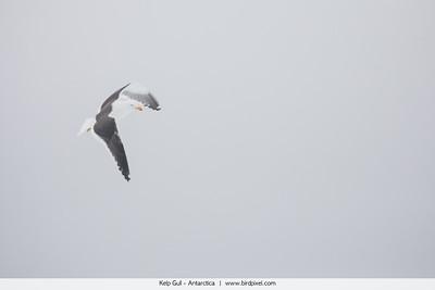 Kelp Gull - Antarctica