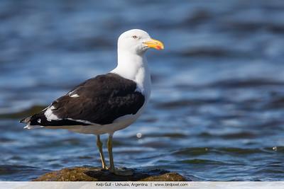 Kelp Gull - Ushuaia, Argentina