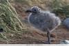 Kelp Gull - Chile