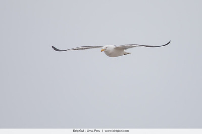 Kelp Gull - Lima, Peru