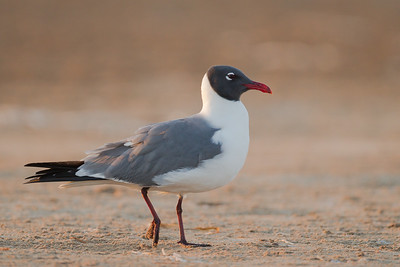 Laughing Gull - Brownsville, TX, USA