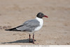 Laughing Gull - South Padre Island, TX, USA
