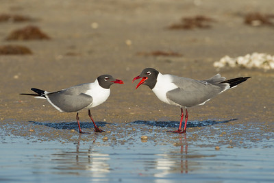 Laughing Gulls - Brownsville, TX, USA