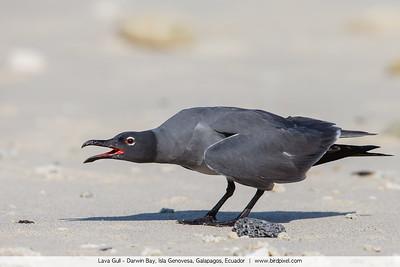 Lava Gull - Darwin Bay, Isla Genovesa, Galapagos, Ecuador