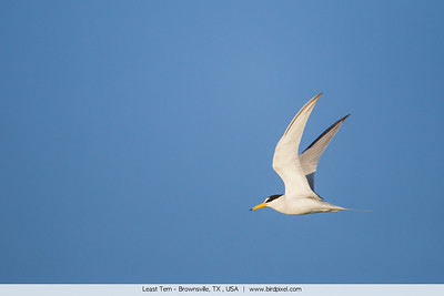 Least Tern - Brownsville, TX , USA