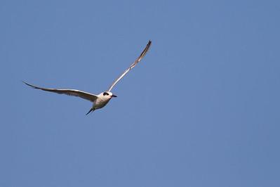 Least Tern - Alviso, CA, USA
