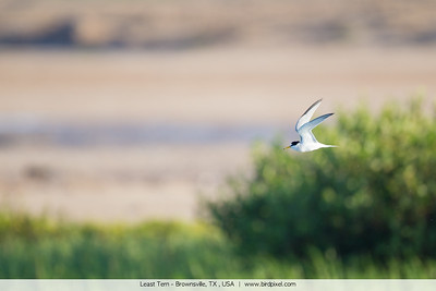 Least Tern - Brownsville, TX , USA