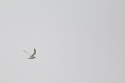 Little Tern - Record - Kanagawa, Prefecture, Japan