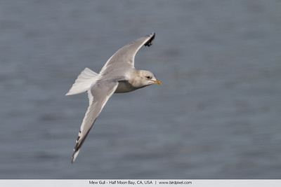 Mew Gull - Half Moon Bay, CA, USA