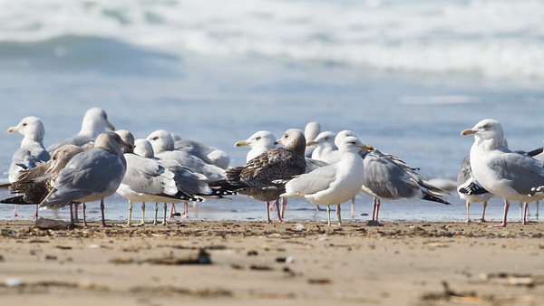 Gulls - Gazos creek south of Half Moon Bay, CA, USA