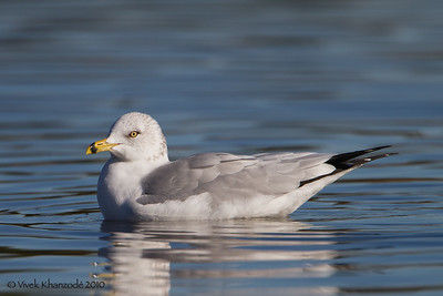 Ring-billed Gull - Shoreline Park, Mountain View, CA