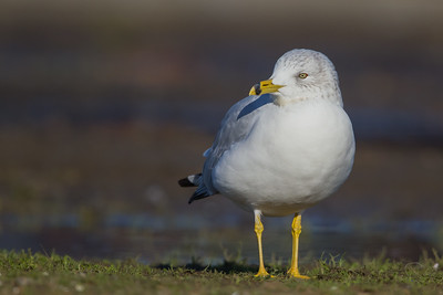Ring-billed Gull - Richmond Marina, Richmond, CA, USA