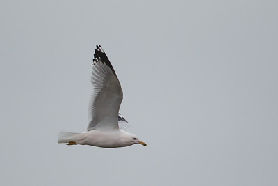 Ring-billed Gull - Point Reyes National Seashore, CA, USA