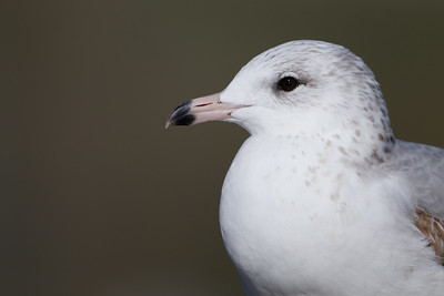 Ring-billed Gull - 2nd Cycle - Palo Alto, CA, USA