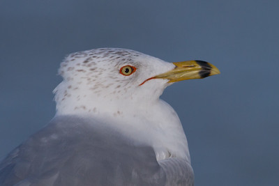 Ring-billed Gull - Palo Alto Baylands, Palo Alto, CA