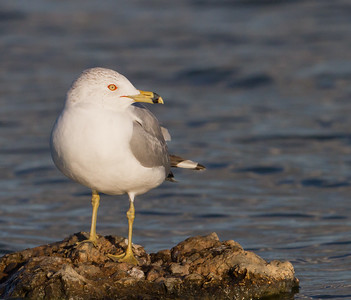Ring-billed Gull - Radio Road, Redwood City, CA