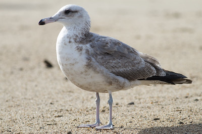 Ring-billed Gull - Half Moon Bay, CA, USA