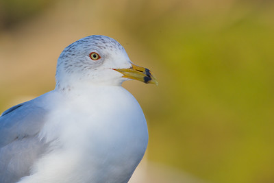 Ring-billed Gull - Palo Alto, CA, USA