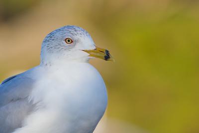 Ring-billed Gull - Palo Alto, CA, USA