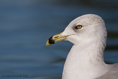 Ring-billed Gull - Palo Alto Duck Pond, Palo Alto, CA