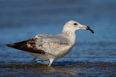 Ring-billed Gull - Half Moon Bay, CA, USA