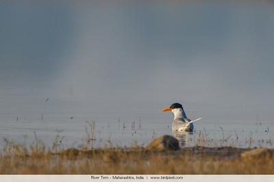 River Tern - Maharashtra, India