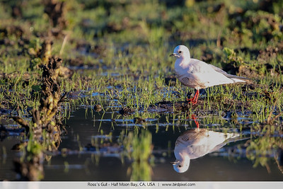 Ross's Gull - Half Moon Bay, CA, USA