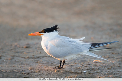 Royal Tern - Brownsville, TX, USA