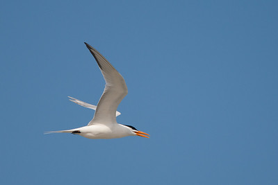 Royal Tern - South Padre Island, TX, USA