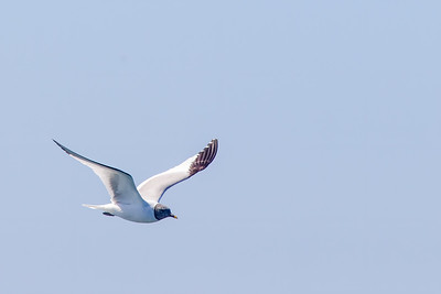 Sabine's Gull - Half Moon Bay, CA, US