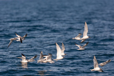 Sabine's Gulls - CA, USA