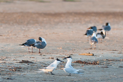 Sandwich Terns and other paired birds - Brownsville, TX, USA