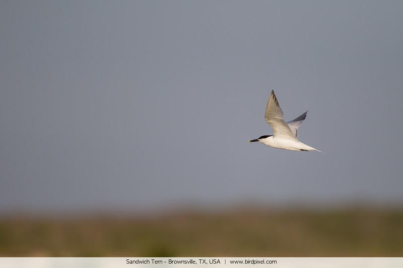 Sandwich Tern - Brownsville, TX, USA