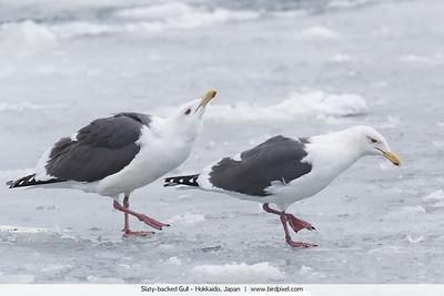 Slaty-backed Gull - Hokkaido, Japan