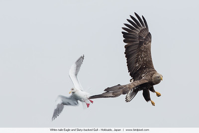 White-taile Eagle and Slaty-backed Gull - Hokkaido, Japan