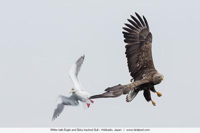 White-taile Eagle and Slaty-backed Gull - Hokkaido, Japan
