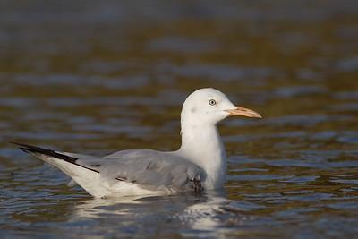 Slender-billed Gull - Aswan, Egypt