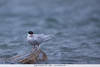 South American Tern - Chile