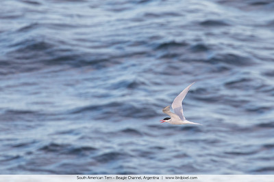 South American Tern - Beagle Channel, Argentina