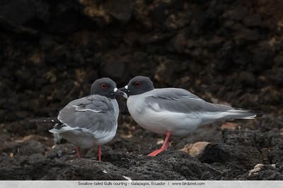 Swallow-tailed Gulls courting - Galapagos, Ecuador