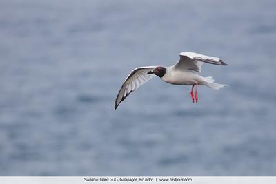 Swallow-tailed Gull - Galapagos, Ecuador
