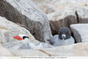 Red-billed Tropicbird & Swallow-tailed Gull - Galapagos, Ecuador