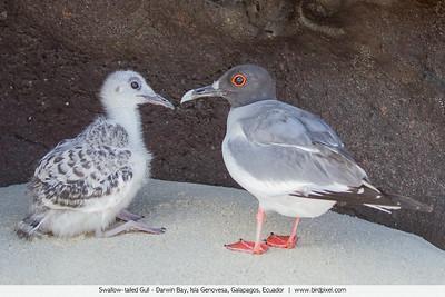 Swallow-tailed Gull - Darwin Bay, Isla Genovesa, Galapagos, Ecuador
