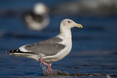 Thayer's Gull - adult - Half Moon Bay, CA, USA