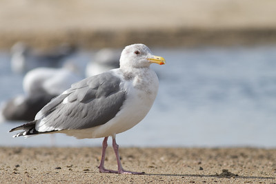 Thayer's Gull - Half Moon Bay, CA, USA