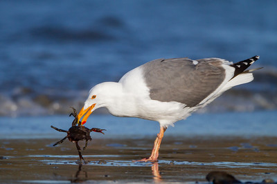 Western Gull - Half Moon Bay, CA, USA