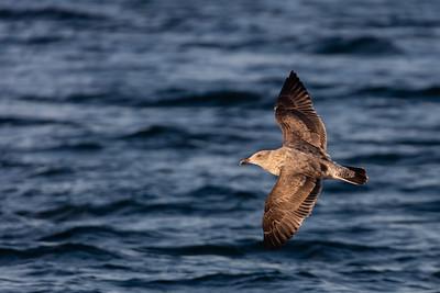 Western Gull - CA, USA
